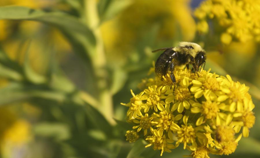 Bee Nom Nom Nom Photograph