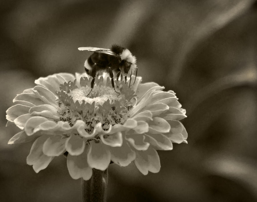 Bee On A Zinnia In Sepia Photograph  - Bee On A Zinnia In Sepia Fine Art Print