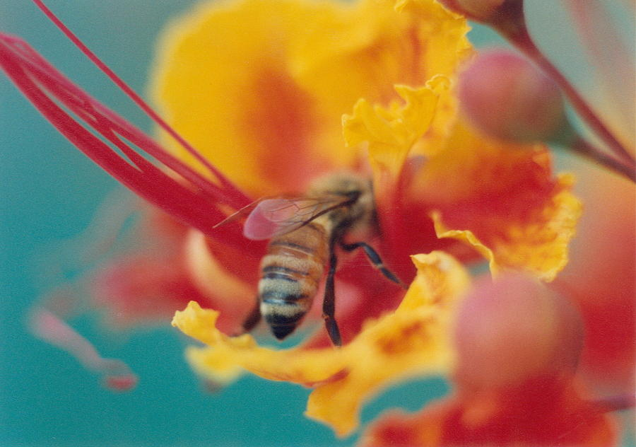 Bee On Bird Of Paradise 100 Photograph