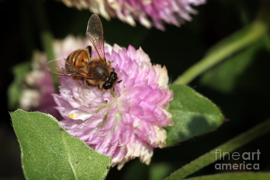 Bee On Gomphrena Photograph