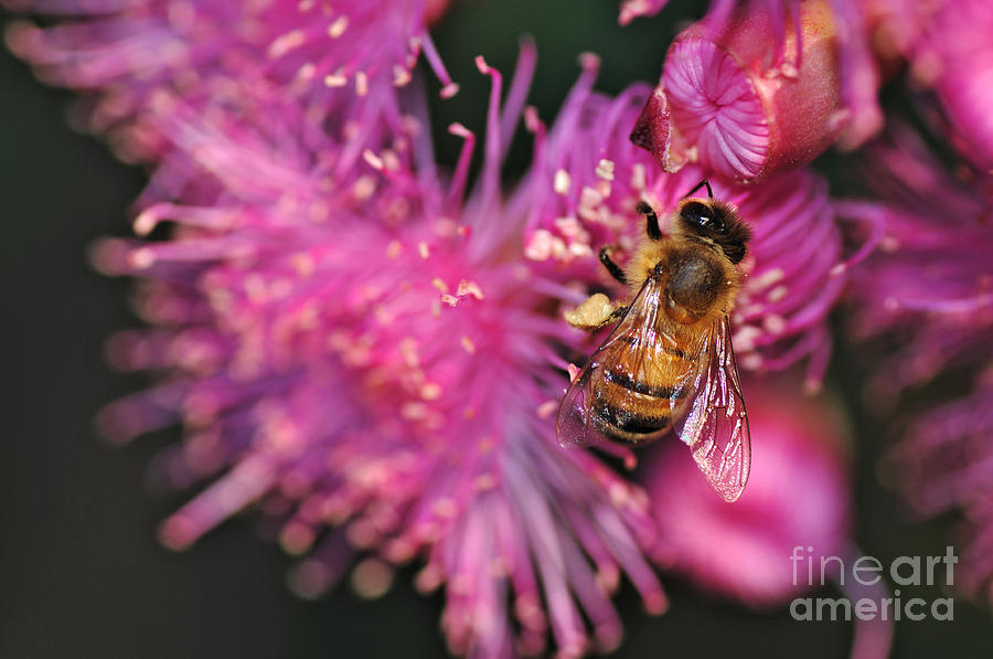 Bee On Lollypop Blossom Photograph  - Bee On Lollypop Blossom Fine Art Print