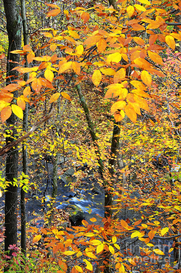 Beech Leaves Birch River Photograph