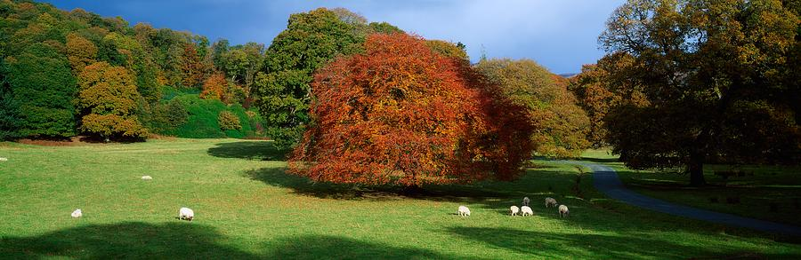 Beech Tree, Glendalough, Co Wicklow Photograph