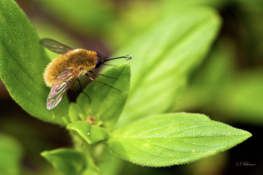 Beefly Photograph  - Beefly Fine Art Print