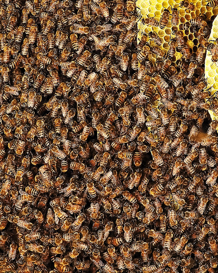 Bees Bees Bees Photograph