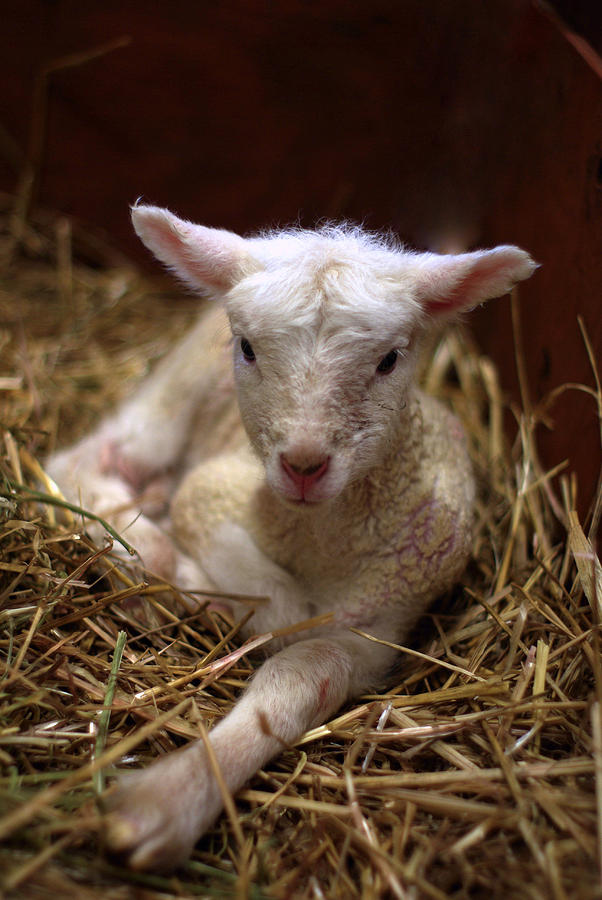 Behold The Lamb Photograph  - Behold The Lamb Fine Art Print