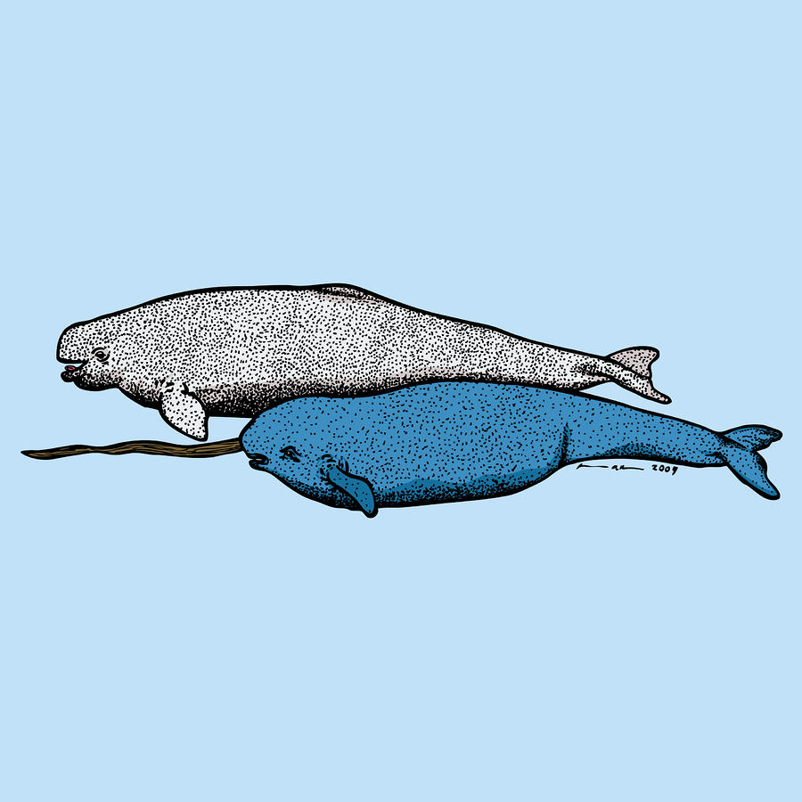 Beluge And Narwhal Whale - Color Drawing  - Beluge And Narwhal Whale - Color Fine Art Print