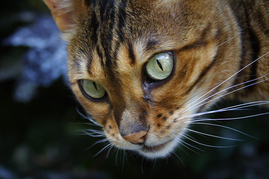 Bengal Cat Photograph