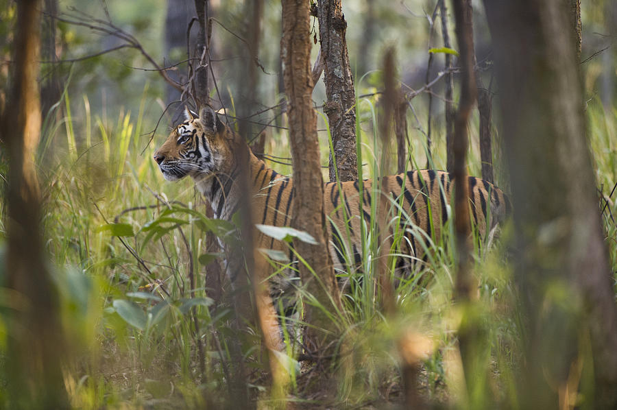 Horizontal Photograph - Bengal Tiger  17-month Old by Richard Packwood