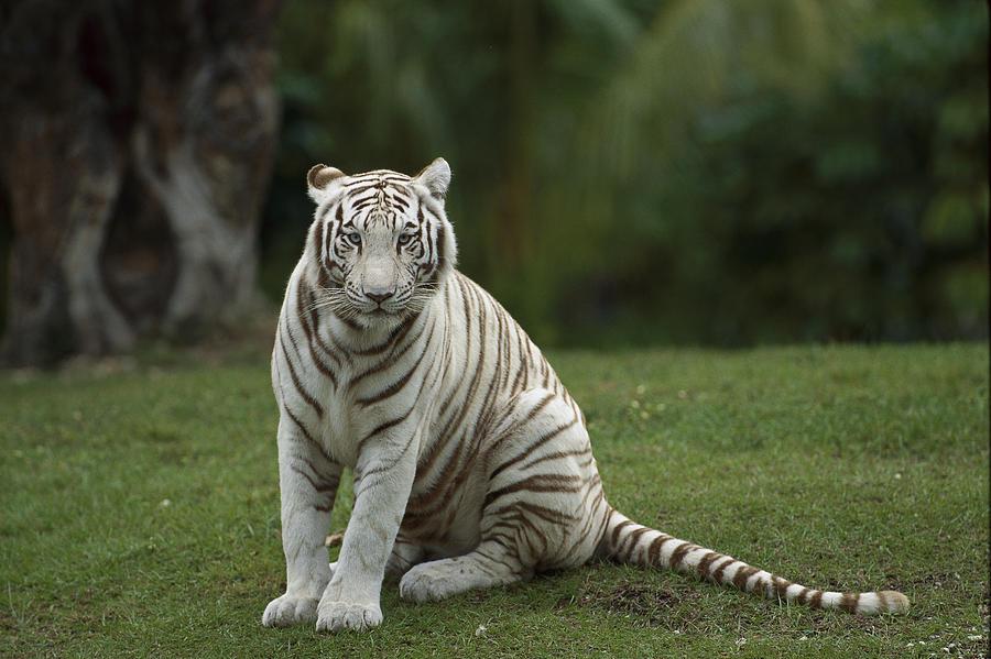 Mp Photograph - Bengal Tiger Panthera Tigris Tigris by Konrad Wothe