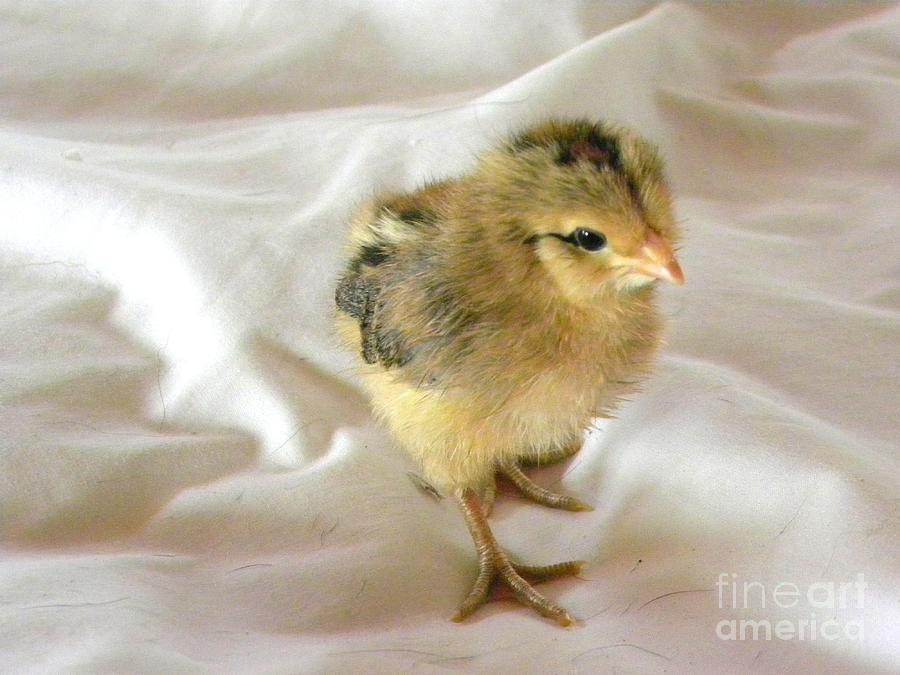 Baby Chick Painting - Best Foot Forward by Susan  Clark