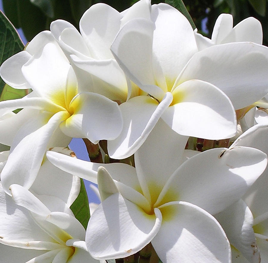 Best Plumeria Photograph  - Best Plumeria Fine Art Print