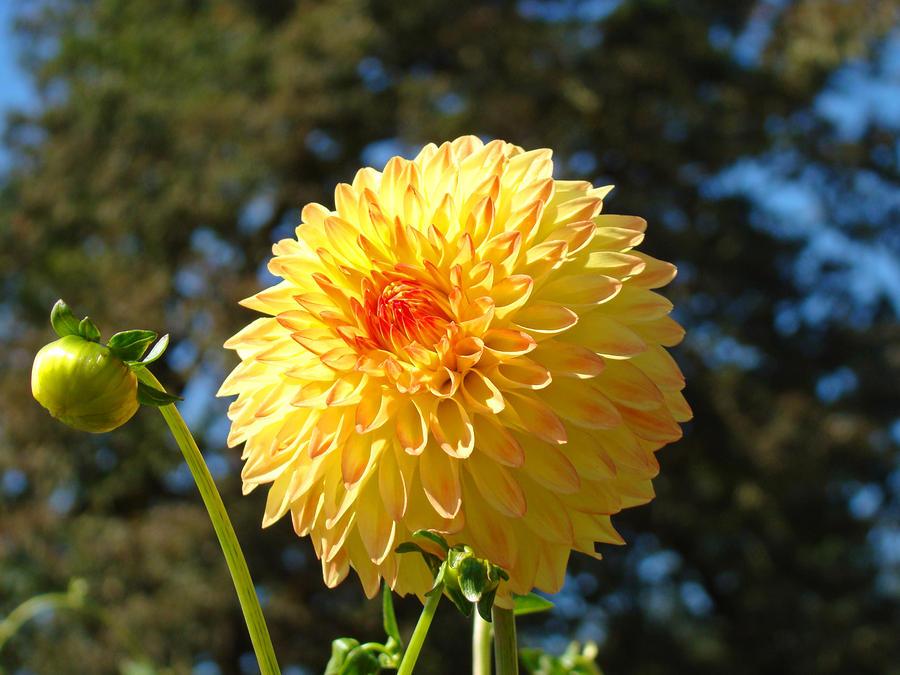 yellow dahlia flower - photo #30