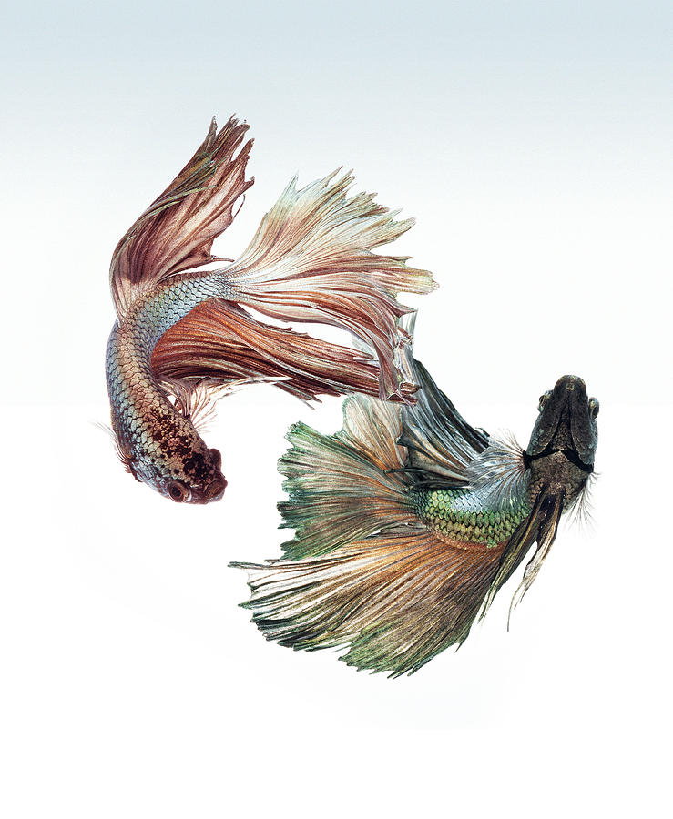 Betta Fight Photograph  - Betta Fight Fine Art Print
