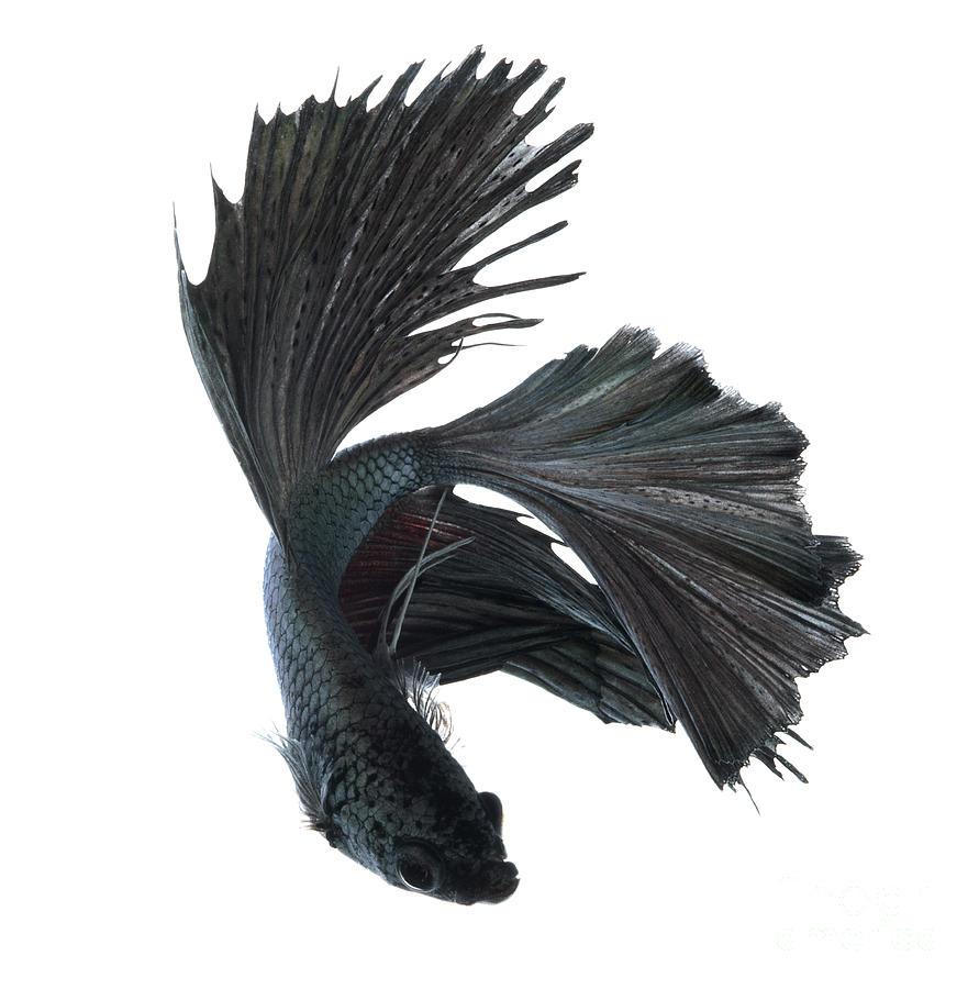 Betta fish dec 31 2012 08 02 43 picture gallery for Black betta fish