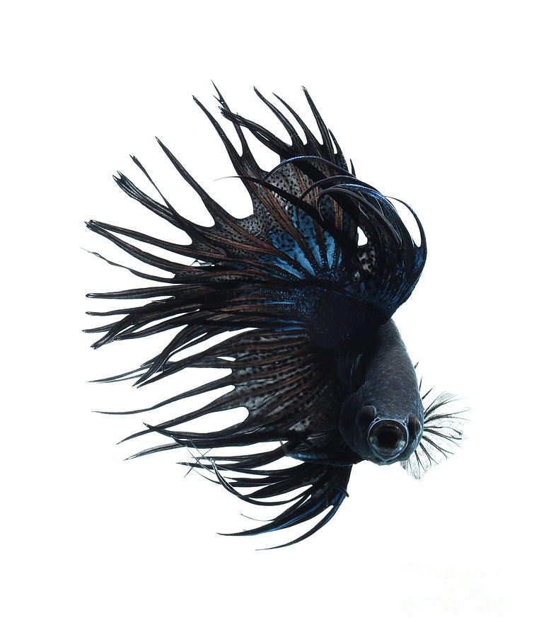 Betta Fish Photograph  - Betta Fish Fine Art Print