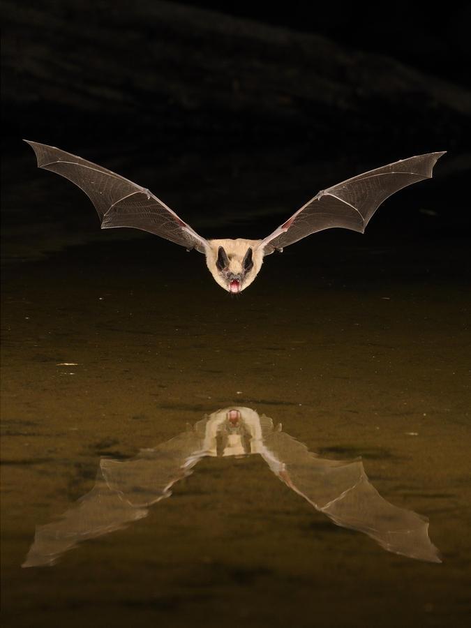 Big Brown Bat Reflection Photograph