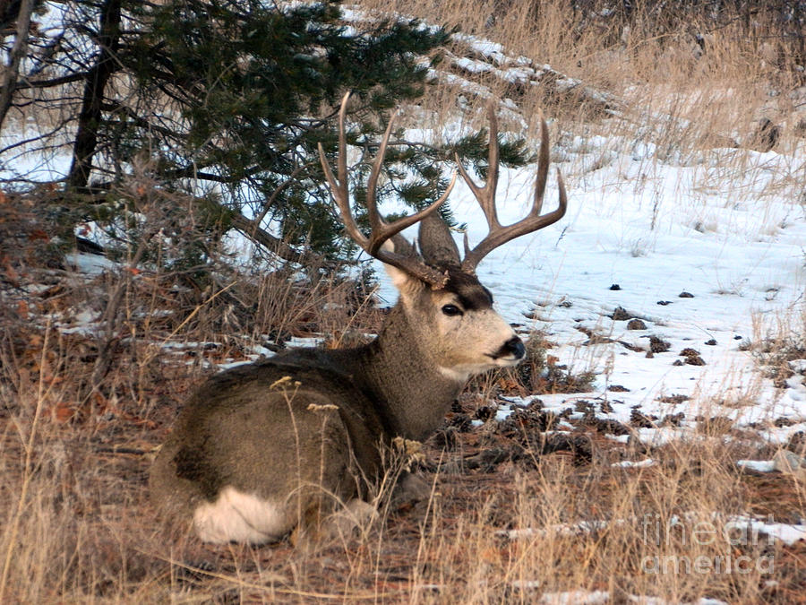 Wildlife Photograph - Big Buck At Rest by Sara  Mayer