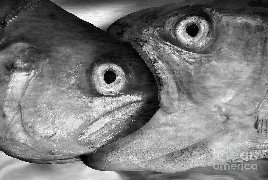 Big Fish Eat Small Fish Photograph