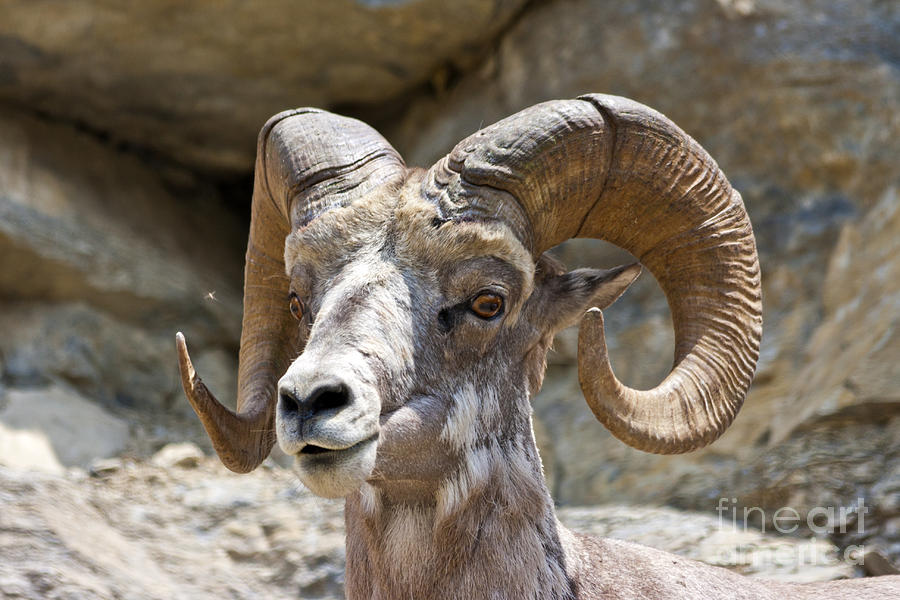 Big Horn Sheep Photograph By Scotts Scapes