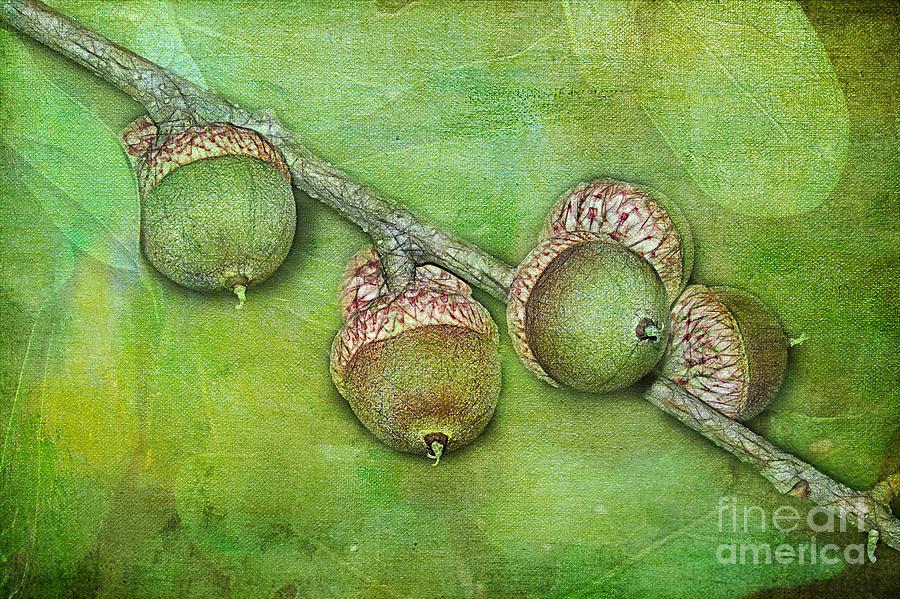 Oak Photograph - Big Oaks From Little Acorns Grow by Judi Bagwell