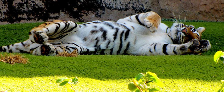 Tiger Photograph - Big Pussycat by Barbara Walsh