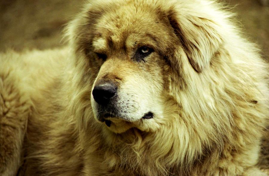 Big Shepherd Dog Photograph