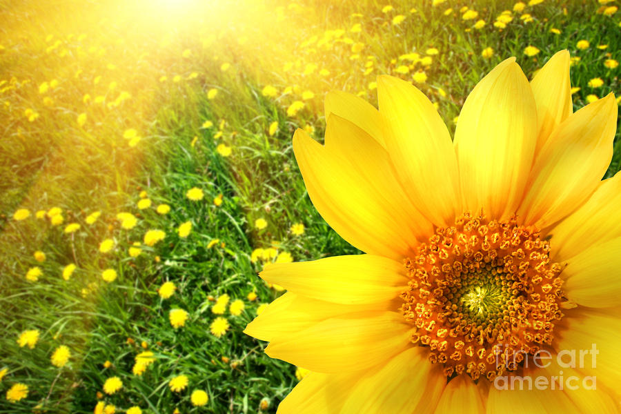 Big Yellow Sunflower  Photograph  - Big Yellow Sunflower  Fine Art Print