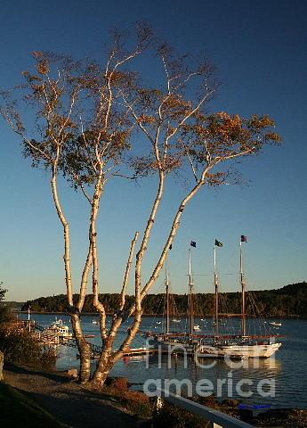 Birch Tree By The Harbor Digital Art