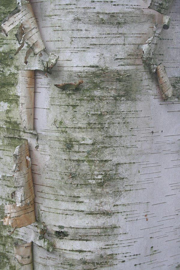 Birch Tree Photograph  - Birch Tree Fine Art Print