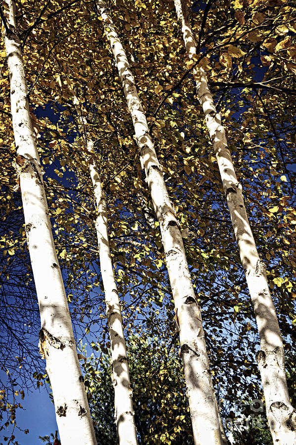 Birch Trees In Fall Photograph