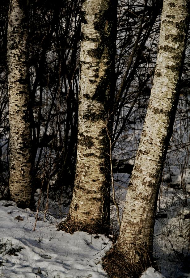 Birch Trees In The Snow Photograph  - Birch Trees In The Snow Fine Art Print