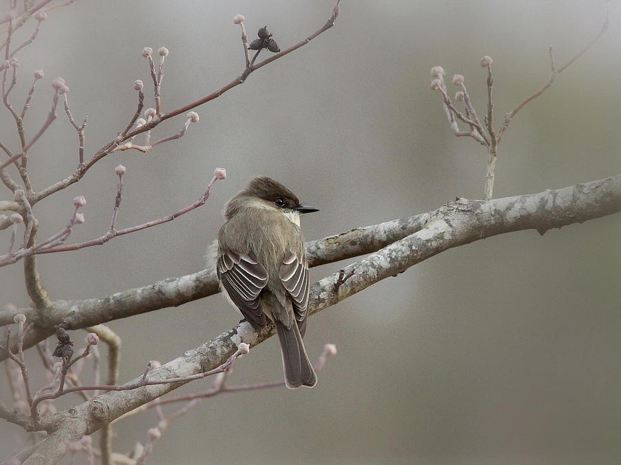Eastern Phoebe Photograph - Bird - Eastern Phoebe - Very Contented by Travis Truelove