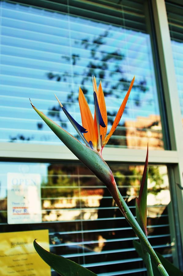 Bird Of Paradise-2 Photograph