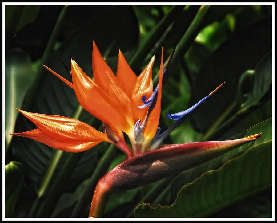 - bird-of-paradise-javier-barras