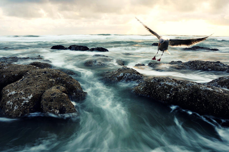Bird Over Surf Photograph  - Bird Over Surf Fine Art Print