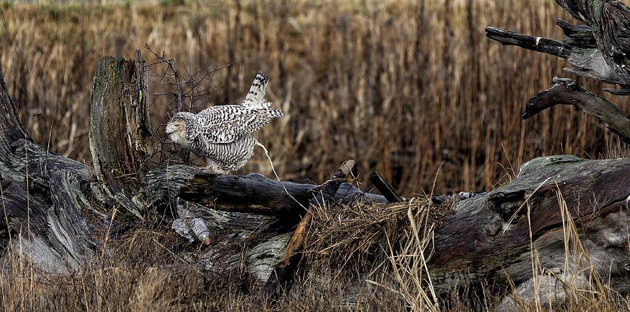 Birds Of Bc - No.13 - Snowy Owl Doo Doo Photograph