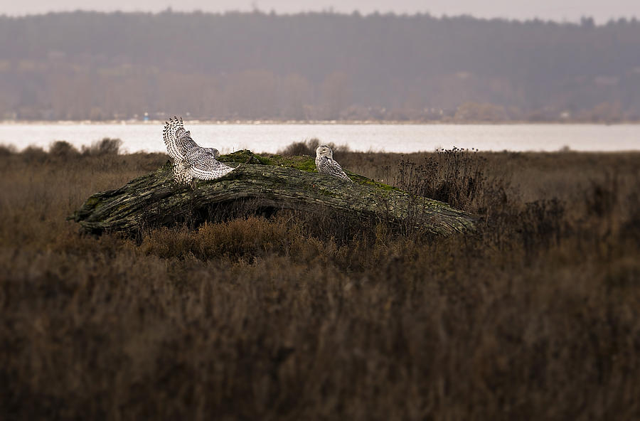 Birds Of Bc - No.15 - Snowy Owl - Bubo Scandiacus Photograph