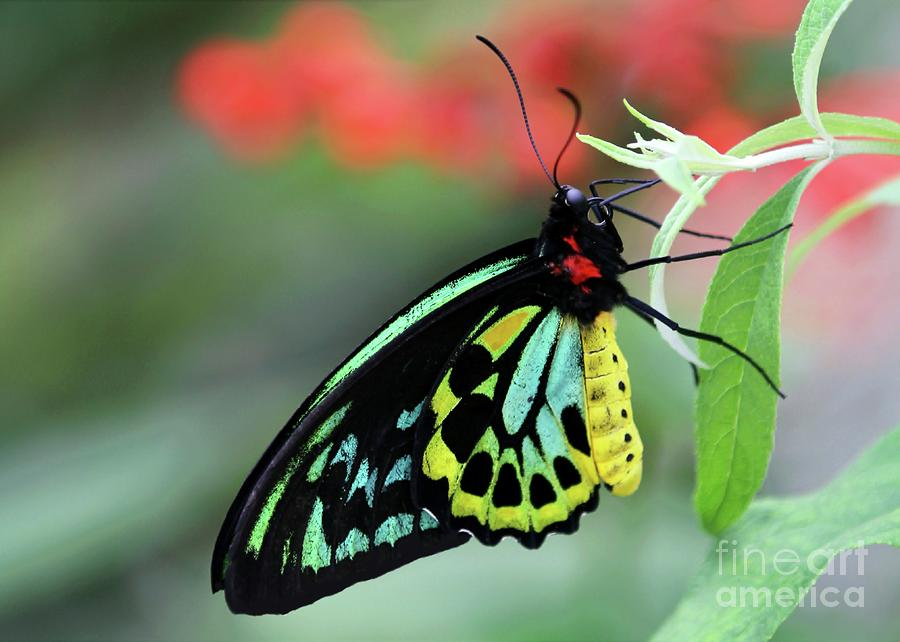Birdwing Butterfly Photograph  - Birdwing Butterfly Fine Art Print