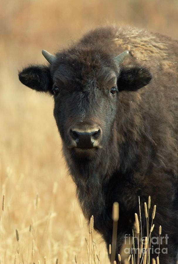 Bison Glance Photograph