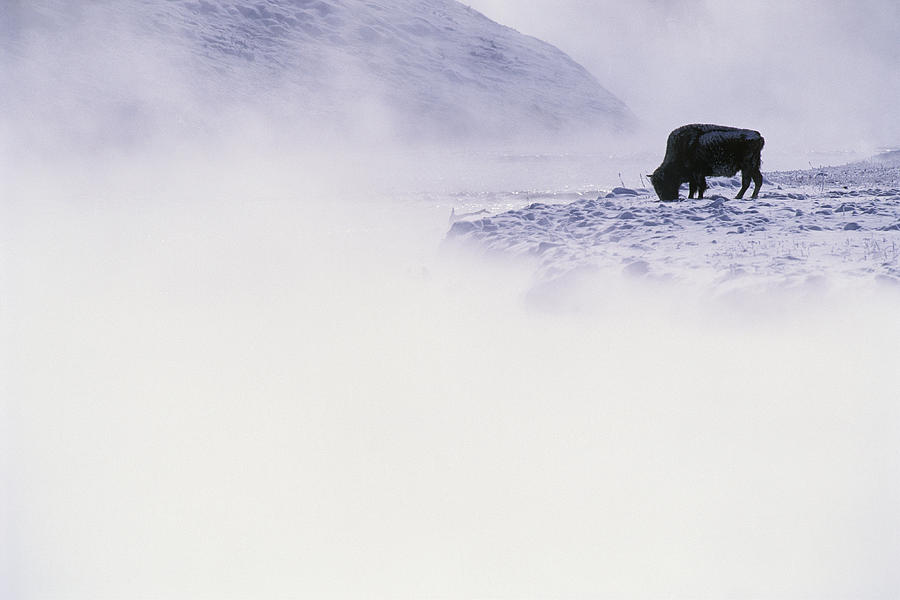 Bison Grazing In Winter Photograph