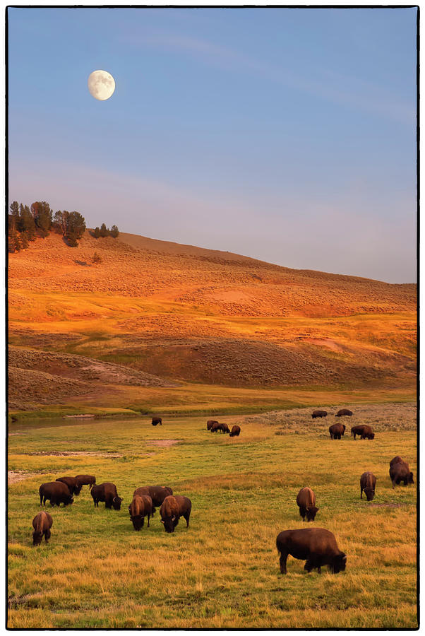 Bison Grazing On Hill At Hayden Valley Photograph