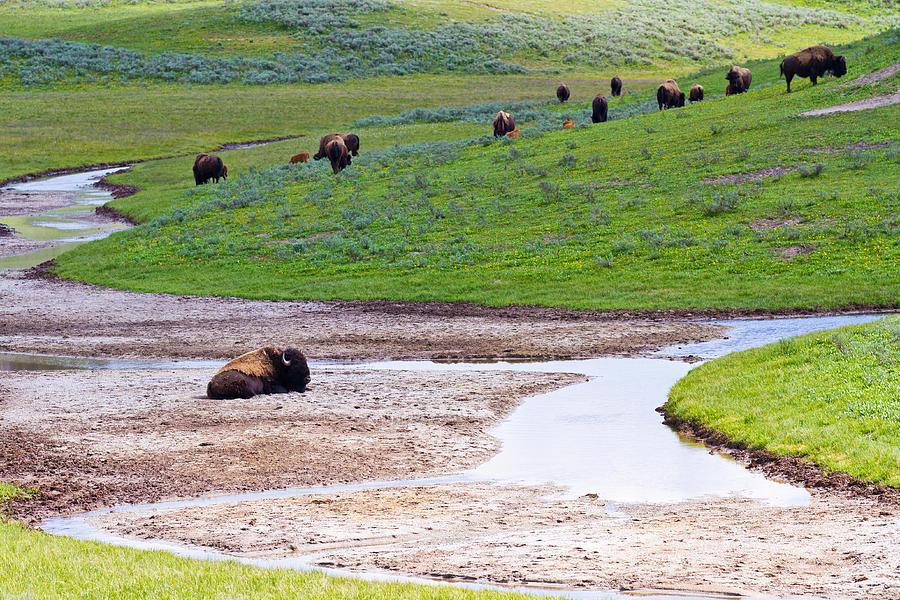 Bison In Hayden Valley Photograph