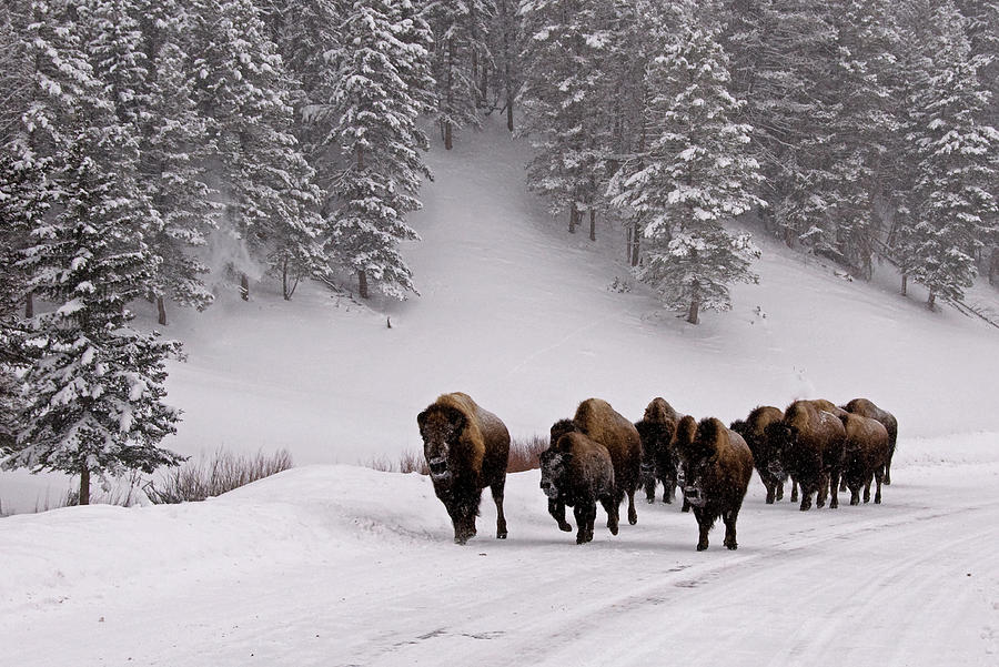 Horizontal Photograph - Bison In Winter by DBushue Photography