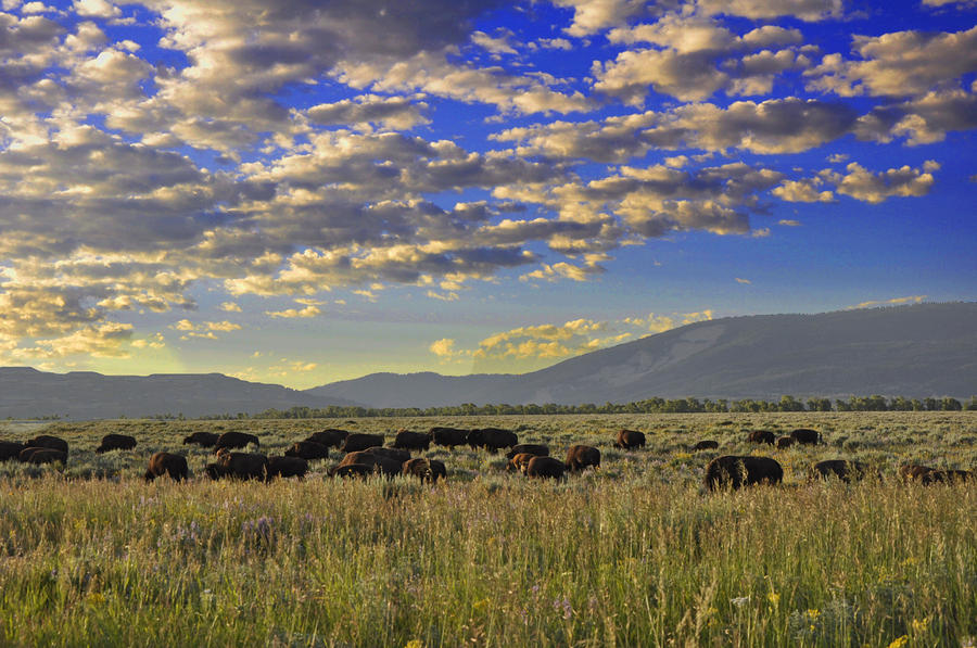 Bison On Antelope Flats Wy Photograph  - Bison On Antelope Flats Wy Fine Art Print
