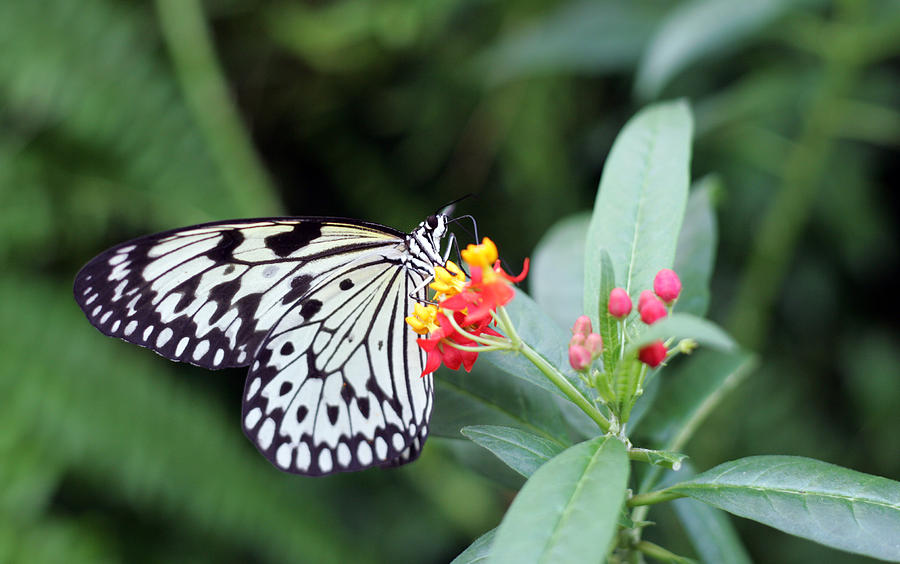 Black And White Butterfly  Photograph