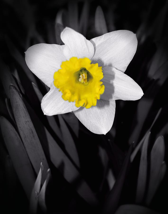 Black And White Daffodil Photograph - Black And White ...