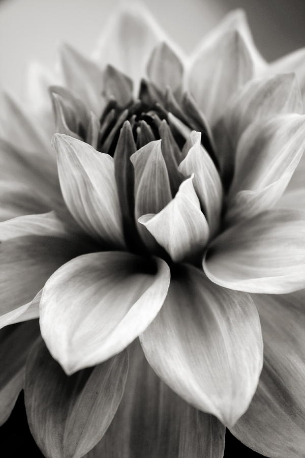 Black And White Dahlia Photograph