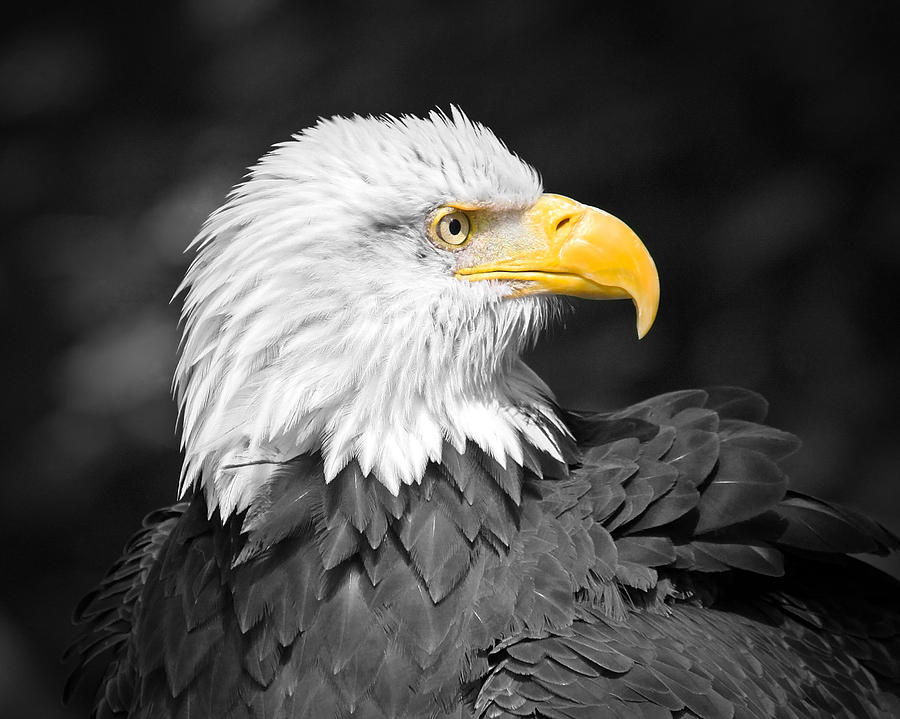 Black And White Eagle Art is a photograph by Steve McKinzie which was ...