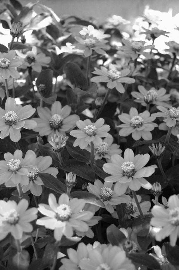 Flower Photograph - Black And White Flowers by Amy Fose